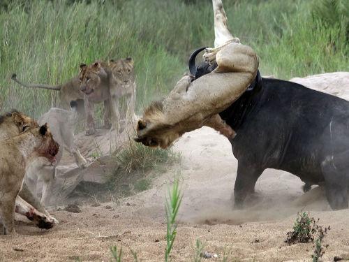 实拍群狮猎食水牛被牛角顶上天