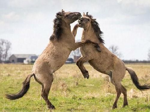 拍摄湿地上演野马为争夺配偶搏斗罕见场面