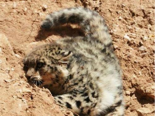 全球首次拍到野生雪豹求欢画面