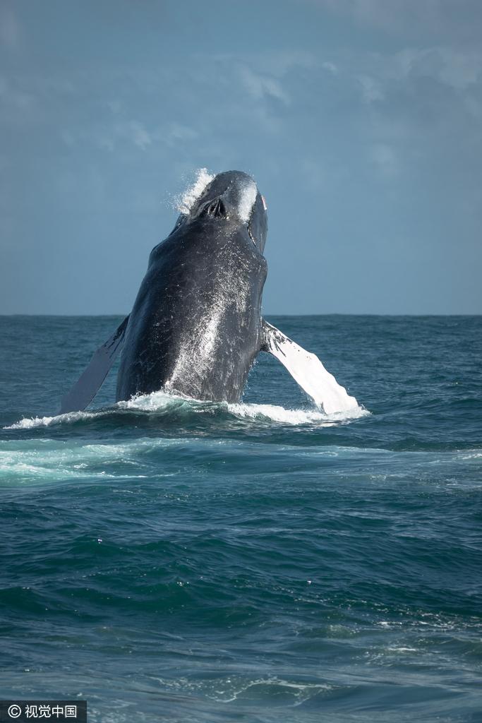 海地15吨座头鲸跃出海面